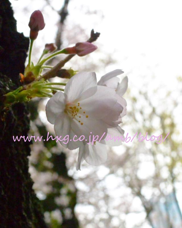 桜 さくら 2016