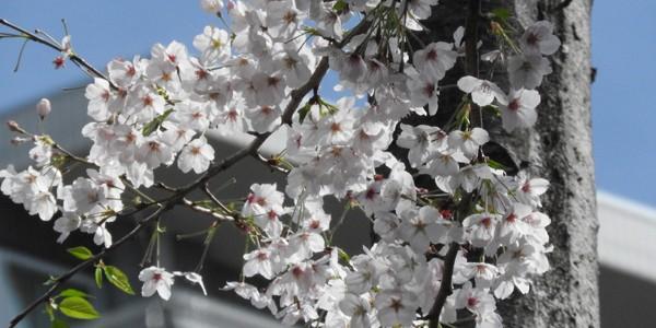 2017桜