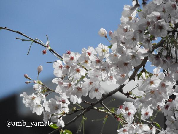 2017 桜 COOLPIX P610